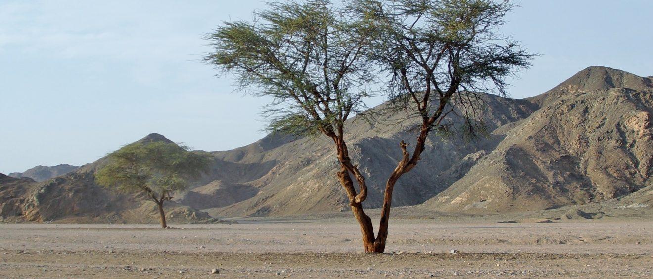 Un arbre seul au milieu du désert égyptien. Crédit ivabalk (Pixabay).